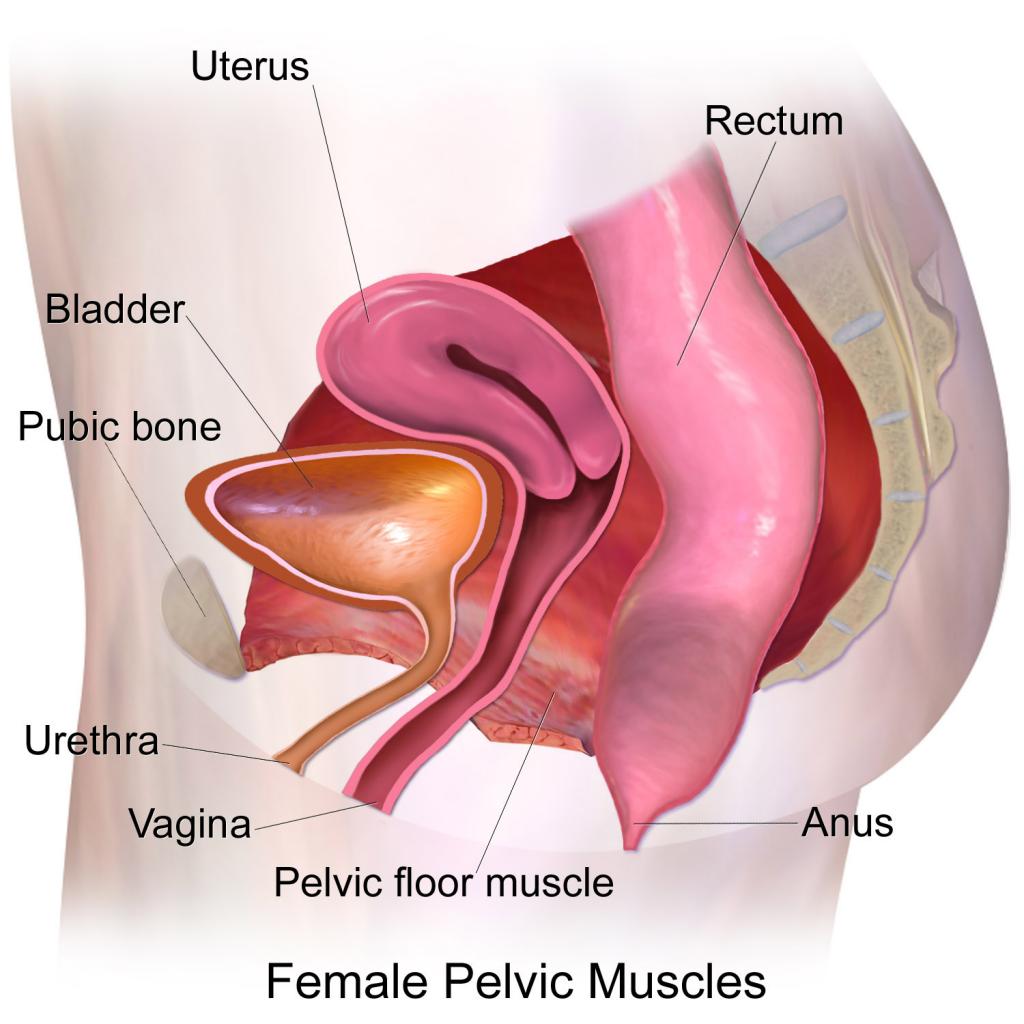 Mišice medeničnega dna
